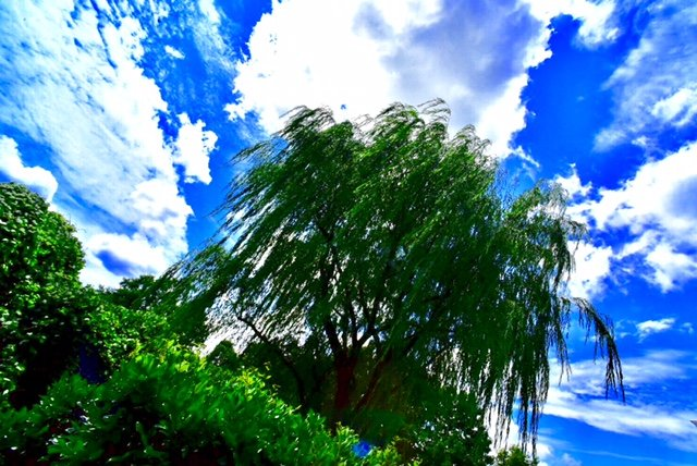 """Giant Weeping Willow Under A Windswept Sky. Winston-Salem, NC"" by William C. Crawford, photo"