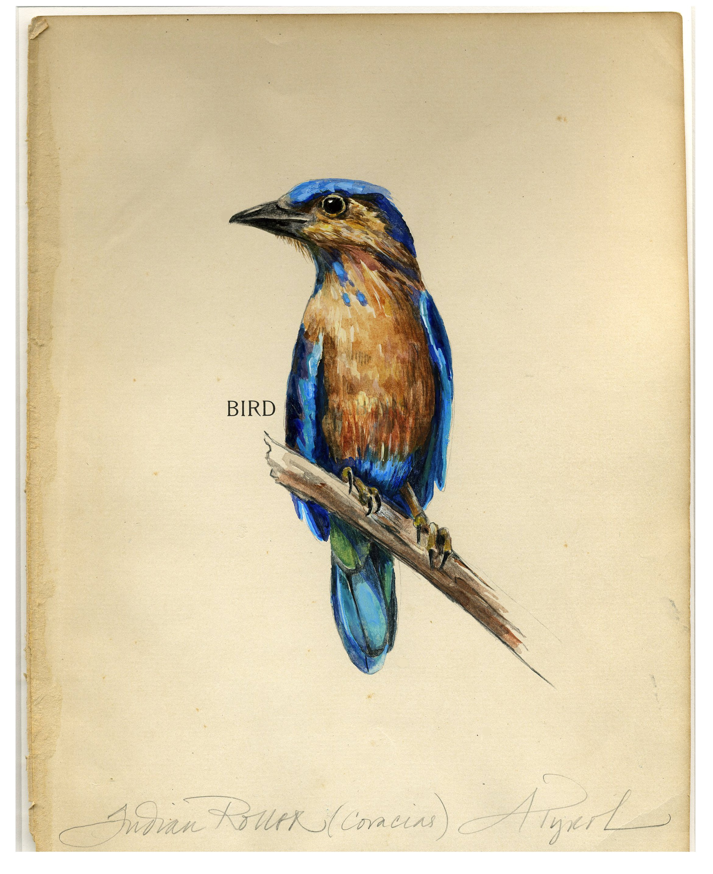 """Indian Roller"" by Adelaide Tyrol, watercolor on vintage book page, 9x7"