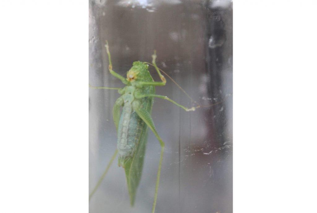 Katydid the Bush Cricket